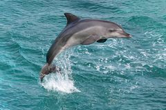 De Sprong van de dolfijn stock fotografie