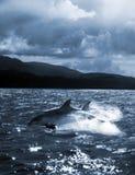 De sprong van de dolfijn uit het water stock afbeeldingen