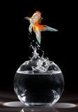 De sprong van de goudvis Royalty-vrije Stock Foto