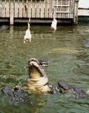 De Sprong van Gators Stock Foto's