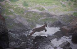 De sprongen van de berggeit over de rivier Royalty-vrije Stock Afbeeldingen