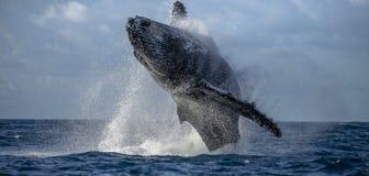 De sprongen van de gebocheldewalvis uit het water Mooie sprong Een zeldzame foto madagascar St Mary ` s Eiland Stock Foto