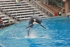 De sprongen van de orka uit tank in Seaworld stock foto