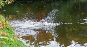 De Sprongen van de labradorhond in Water en het Spelen Royalty-vrije Stock Foto