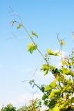 De spruit en de hemel van de wijnstok Royalty-vrije Stock Foto's