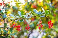 De spruit van de Berberisberberis met kleine rode bessen en vage achtergrond Stock Foto