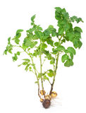 De spruit van de aardappel stock afbeelding
