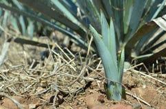 De spruit van de agaveinstallatie Stock Foto's