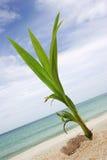 De Spruit van de kokosnoot Stock Afbeeldingen