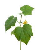 De spruit van de komkommer Stock Foto's
