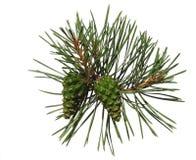 De spruit van de pijnboom met twee kegels Royalty-vrije Stock Foto's