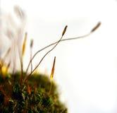 De spruit van het mos Royalty-vrije Stock Foto's