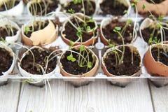 De spruiten die van de broccolizaailing in eierschalen, gezonde voeding groeien en royalty-vrije stock foto's