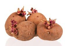 De spruiten van aardappels Royalty-vrije Stock Fotografie