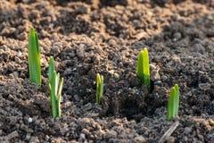 De spruiten van de krokusbloem in de lente Royalty-vrije Stock Foto's