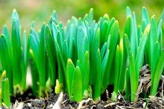De spruiten van de lente stock foto