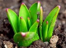 De spruiten van de lente stock foto's