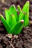 De spruiten van de lente royalty-vrije stock foto's