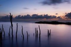 De spruiten van de mangrove bij dageraad Stock Afbeeldingen