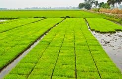 De spruiten van de rijst Royalty-vrije Stock Afbeeldingen