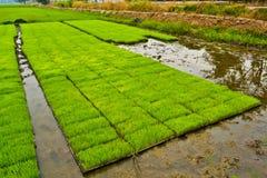 De spruiten van de rijst Royalty-vrije Stock Fotografie