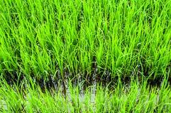 De spruiten van de rijst Royalty-vrije Stock Foto