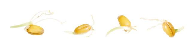 De spruiten van de tarwe stock afbeelding