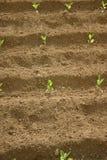 De Spruiten van de tuin Stock Afbeeldingen