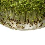 De spruiten van de tuinkers Royalty-vrije Stock Fotografie