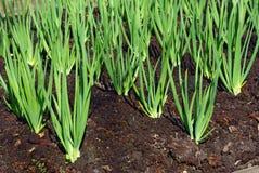 De spruiten van de ui in de vroege lente bij de tuin Royalty-vrije Stock Fotografie