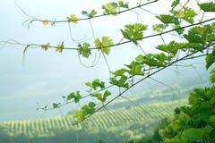 De spruiten van de wijnstok Royalty-vrije Stock Afbeelding