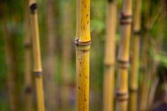 De spruiten van het bamboe royalty-vrije stock afbeelding