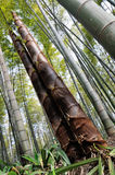 De torenhoge bamboespruiten Stock Afbeelding