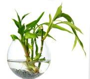 De spruiten van het bamboe in een glasschip Stock Foto's