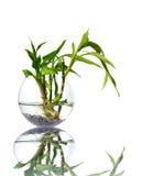 De spruiten van het bamboe in een glasschip Stock Afbeelding