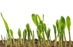 De spruiten van het graan stock afbeelding