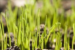 De spruiten van het gras Stock Fotografie