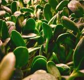 De spruiten van de Microgreenszonnebloem stock afbeeldingen