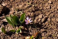 De spruiten van tulpen en Krokus De eerste bloemen van de lente stock fotografie
