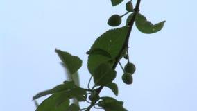 De spruiten van zoete kers in Marine Park van Bourgas in Bulgarije stock videobeelden