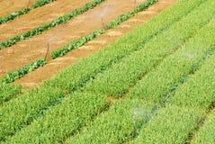 De spruitenlandbouwbedrijf van het knoflook. Stock Foto
