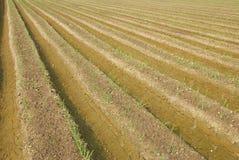 De spruitenlandbouwbedrijf van het knoflook. stock fotografie