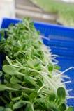 De spruitlandbouwbedrijf van de zonbloem Stock Foto's