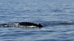 De staart van de gebocheldewalvis stock video