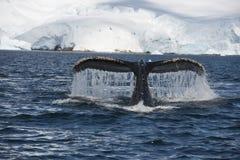 De staart van de gebocheldewalvis Stock Foto's