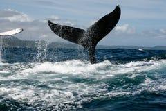 De staart van de gebocheldewalvis stock afbeeldingen