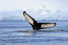 De staart van de gebocheldewalvis royalty-vrije stock foto's