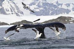 De staart van de gebocheldewalvis die tijdens voedende 1 duikt Stock Afbeelding