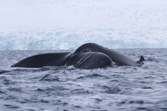 De staart van de gebocheldewalvis die in wateren duikt Royalty-vrije Stock Foto's