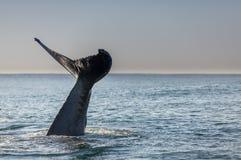De staart van de gebocheldewalvis het golven Stock Afbeelding